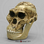 Australopithecus africanus Skull Sts 5 Mrs. Ples with Lower Jaw