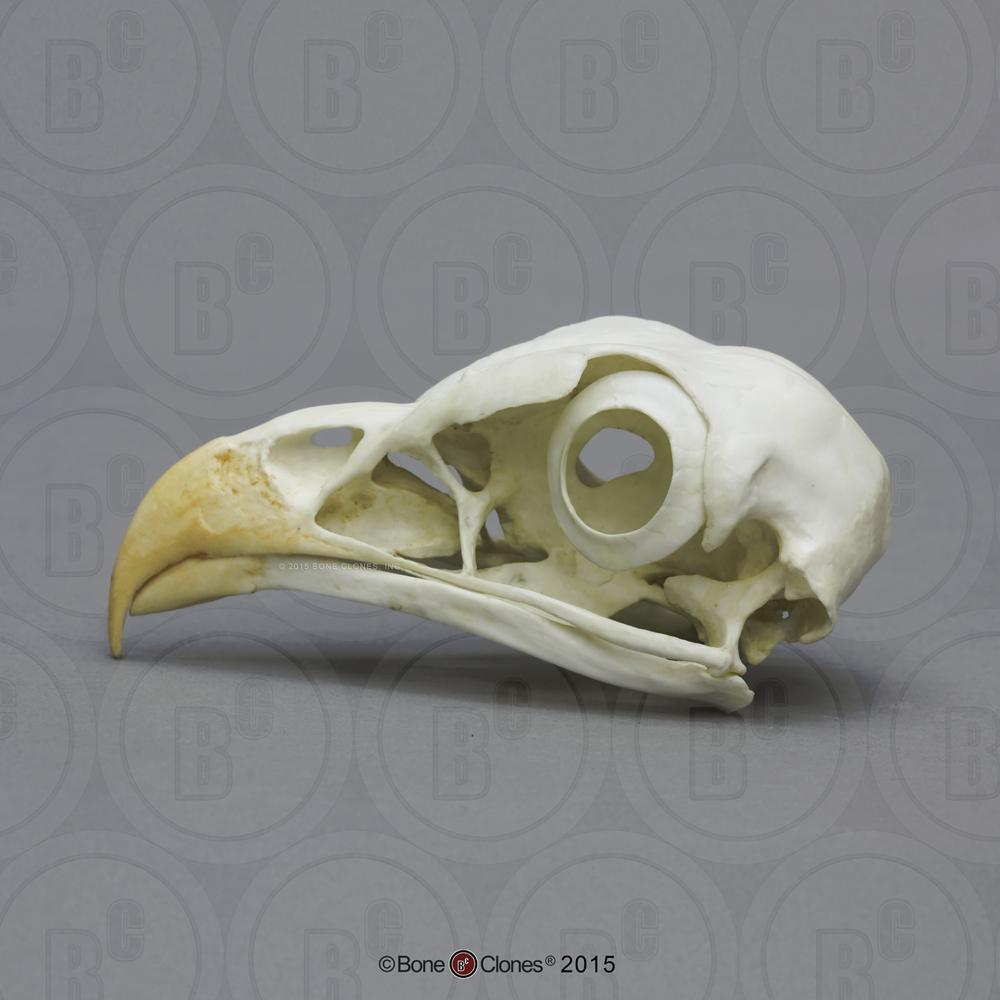 Secretary Bird Skull - Bone Clones, Inc. - Osteological Reproductions