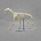 Sabertooth Cat Smilodon Articulated Skeleton, Antique Finish