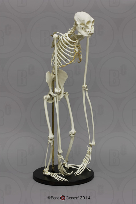 articulated siamang skeleton bone clones inc