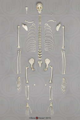 Disarticulated Siamang Skeleton