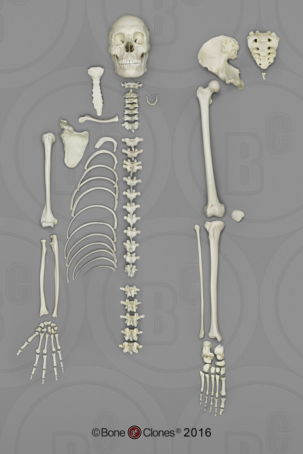 bone clones, inc. - osteological reproductions, Skeleton