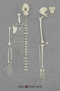 Disarticulated Human Male Asian Half Skeleton