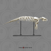 Articulated Manatee Skeleton