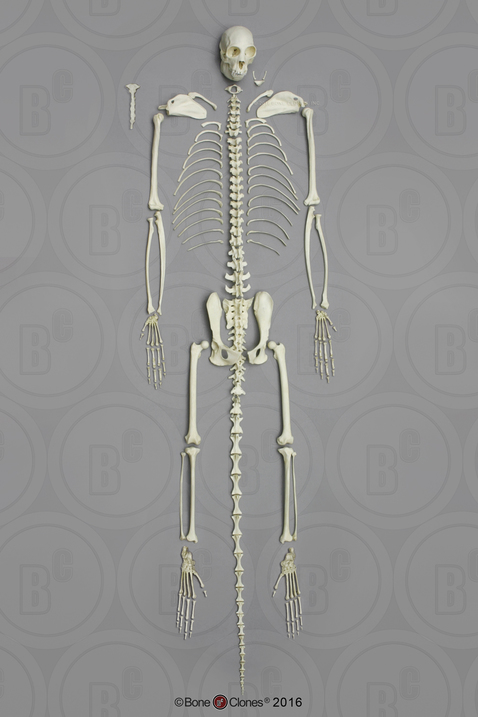 Disarticulated Black Spider Monkey Skeleton Bone Clones Inc