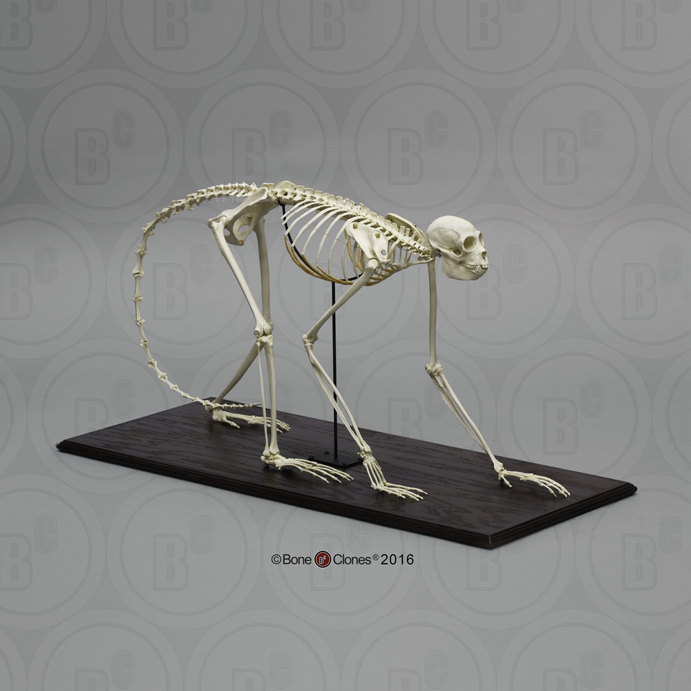 Black Spider Monkey Skeleton Articulated Bone Clones Inc