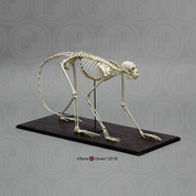 Black Spider Monkey Skeleton, Articulated