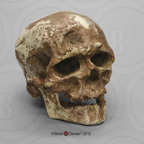Cro-Magnon 1 Skull - Bone Clones, Inc  - Osteological