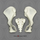 Siamang Pelvis, Disarticulated