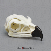 Golden Eagle Skull