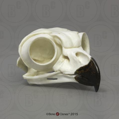 Great Horned Owl Skull - Bone Clones, Inc. - Osteological ... - photo#4