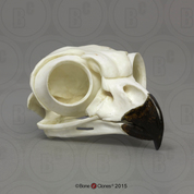 Great Horned Owl Skull