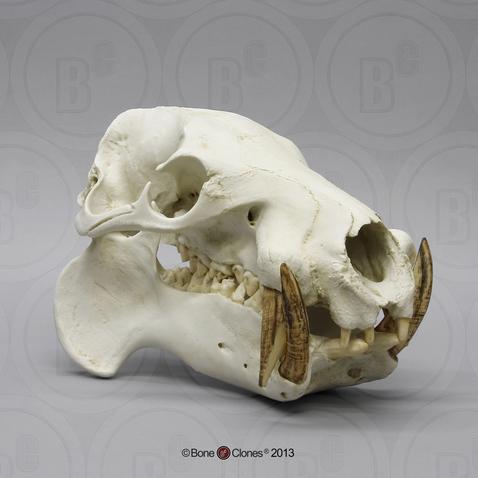 Pygmy Hippo Skeleton