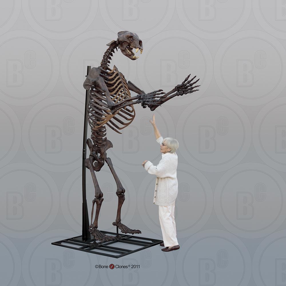 short-faced bear articulated upright skeleton - bone clones, inc, Skeleton