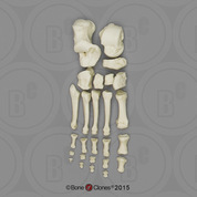Human Female European Foot, Disarticulated