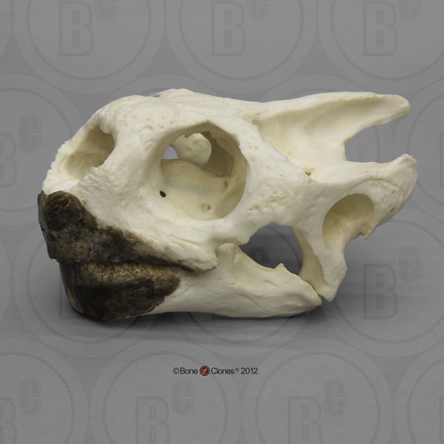Loggerhead Sea Turtle Skull - Bone Clones, Inc. - Osteological ...