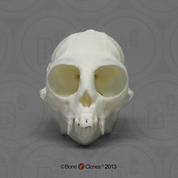Common Marmoset Skull