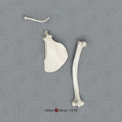 Vervet Monkey Humerus, Scapula and Clavicle Set