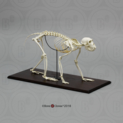 Rhesus Macaque Skeleton, Articulated