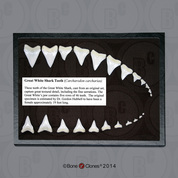 Great White Shark Teeth (Replica) Set of 23