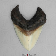7 1/8 Inch Megalodon Shark Tooth (Replica)