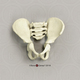 Archaic Human 5-year-old Child Articulated Pelvis Assembly