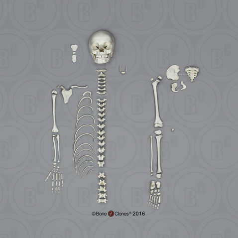 disarticulated 5-year-old human child half skeleton - bone clones, Skeleton