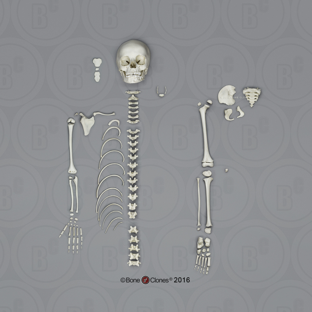 half and partial human skeletons - bone clones, inc, Skeleton