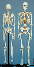 European Female and Male Skeletons SCM-191-A, SCM-192-A