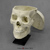 Modern Human Male Asian Skull with Calvarium Cut