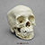 12-year-old Human Child Skull, with Dentition Exposed