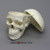Human Female European Skull with Calvarium Cut