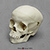 5-year-old Human Child Skull, Calvarium Cut