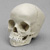 5-year-old Human Child Skull, with Dentition Exposed