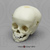 1-year-old Human Child Skull with Calvarium Cut
