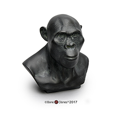 Australopithecus africanus Bust by Atelier Daynes