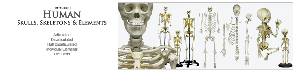 Human Anatomy, Skulls and Skeletons