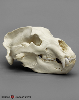 Kodiak Grizzly Bear, X-large Skull