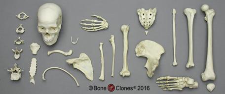 Human Bone Boxes ca9ed0db306