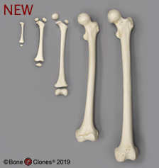 Bone Clones, Inc  - Osteological Reproductions