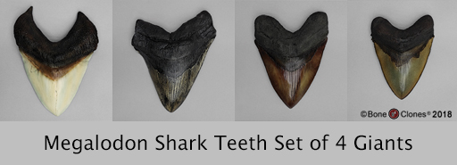 Megalodon Shark Teeth Set of 4 Giants