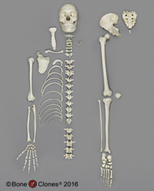 Human Male Asian Half Skeleton