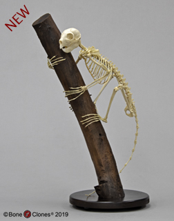 Aye-aye Skeleton