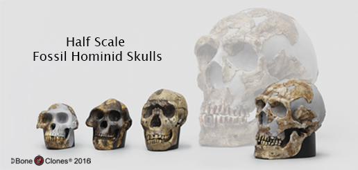 Set of 4 Hominid Skulls, Half Scale