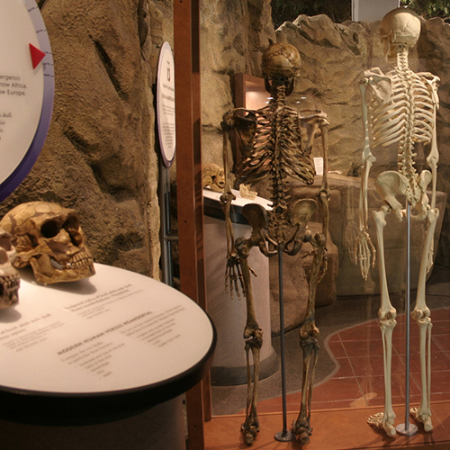 museum exhibitions - bone clones, inc. - osteological reproductions, Skeleton