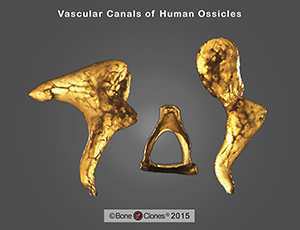 Human Ossicles Set of 6 (left and right)