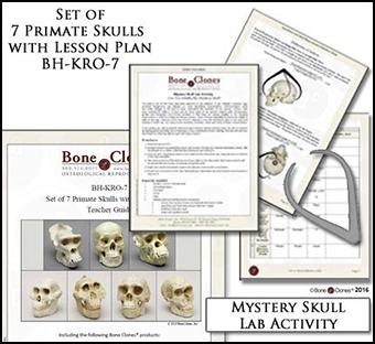 Set of 7 Primate Skulls BH-KRO-7