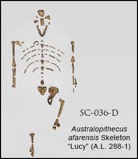 Disarticulated Lucy Skeleton