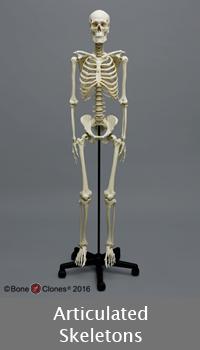 Articulated Skeletons