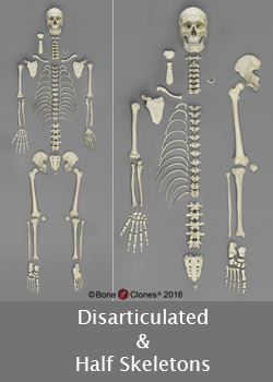 Skeletons - Disarticulated and Half